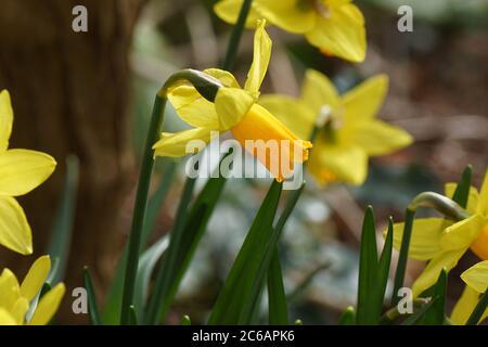Gros plan sur la trompette jonquille (Narcisse cyclamineus tête à tête) avec des fleurs orange jaune. Famille Amaryllis (Amaryllidaceae). Bergen, pays-Bas, Fé Banque D'Images