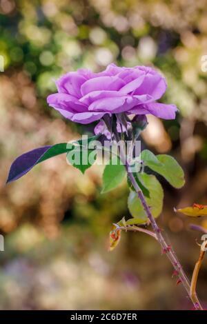 rose lilas et vapeur avec un fond flou dans un jardin