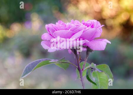 tête de rose lilas et vapeur avec arrière-plan flou dans un jardin