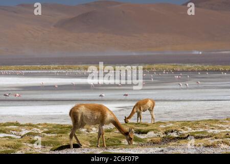 Guanacos (Lama guanicoe) paître sur les rives de Laguna Colorada dans les Andes en Bolivie