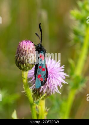 Zygaena filipendulae, papillon de six taches de couleur vive, reposant sur Cirsium arvense dans les prairies du Royaume-Uni