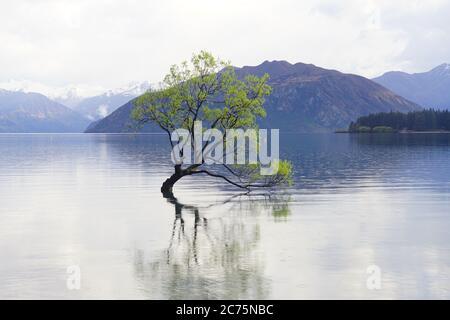 Arbre isolé du lac Wanaka pendant le moment de marée haute en Nouvelle-Zélande. Banque D'Images