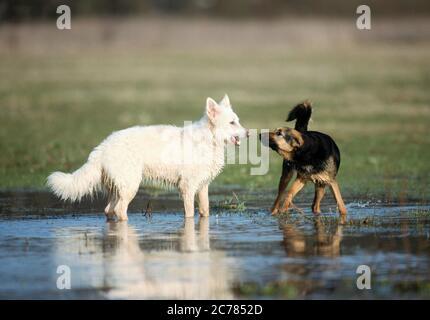 Berger blanc Suisse, Berger blanc suisse blanc et chien mixte. Deux chiens adultes jouant dans l'eau. Allemagne Banque D'Images