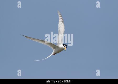 Little Tern (Sternula albifrons) - en vol contre un ciel bleu, Naha, Okinawa, Japon 2 mai 2019 Banque D'Images