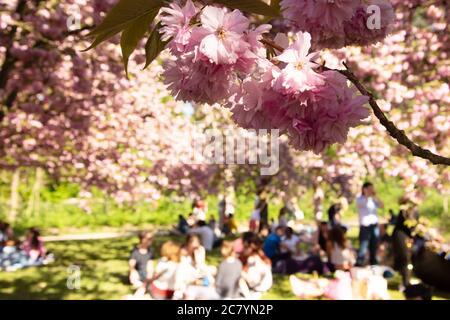 Célébration hanami. Les gens admirent les cerisiers en fleurs et font un pique-nique dans le parc de Sceaux près de Paris (France). Concept de mode de vie familial sain. Loisirs à na Banque D'Images