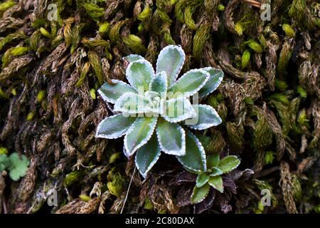 Succulent plante macro sur le rocher en Géorgie.