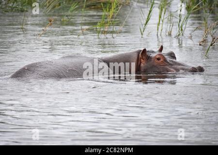 Un hippopotame (Hippopotamus amphibius) dans l'eau le long de la rivière Zambèze, près des chutes Victoria. Tout ce qui est vu est le haut de la tête et le dos. Banque D'Images