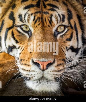 Tigre de Sumatran mâle (gros plan) Banque D'Images