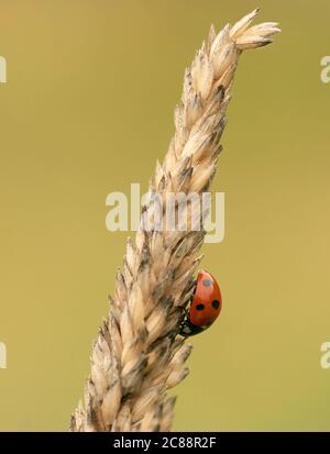 Un oiseau ladybird à sept taches (Coccinella septempunctata) sur l'herbe de prairie, Warwickshire Banque D'Images