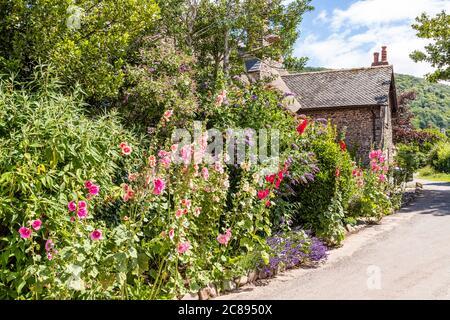 Des hollyhocks fleurissent à côté d'une ruelle sur le parc national d'Exmoor dans le village de Bossington, Somerset UK