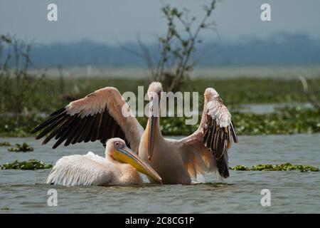 Grand Pélican blanc (Pelecanus onocrotalus) troupeau dans l'eau, Israël, vallée hulla Banque D'Images