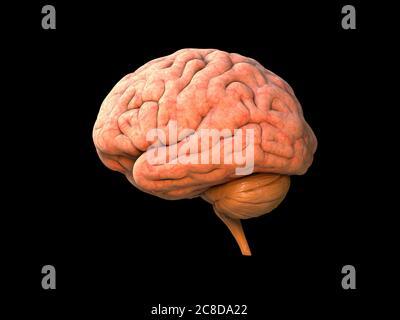 Anatomie humaine du cerveau 3D - structure anatomique du cerveau isolée, organe de tête, lobes, système nerveux, objet neurologique, puissance de l'activité humaine, partie du corps, br