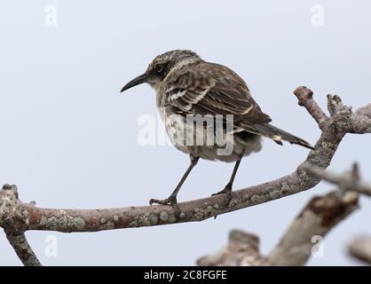 Galapagos mockingbird (Mimus parvulus, Nesomimus parvulus), perché dans un bas arbre, Équateur, îles Galapagos