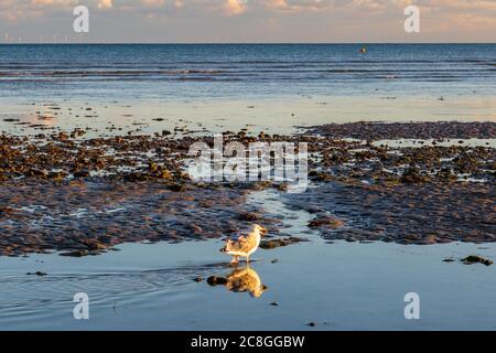Un mouette et une réflexion, avec de la nourriture dans son bec, sur la plage de Worthing au coucher du soleil