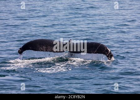 La plongée de la baleine à bosse (Megaptera novaeangliae) montre son fluke dans le détroit de Prince William, en Alaska