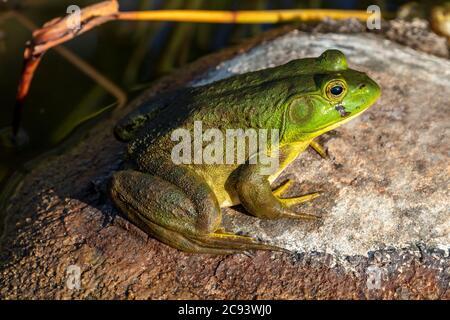 Arouaouaron américain (Lithobates catesbeianus ou Rana catersbeiana), E N America, par James D Coppinger/Dembinsky photo Assoc
