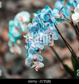 Plantes tropicales dans l'arboretum. Les feuilles et les fleurs d'orchidées bleu sauvage se rapprochent. Concept de conservation de l'environnement.