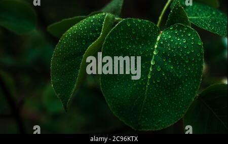 Gouttes de pluie sur fond de feuilles vertes de la nature. Espace pour le texte Banque D'Images