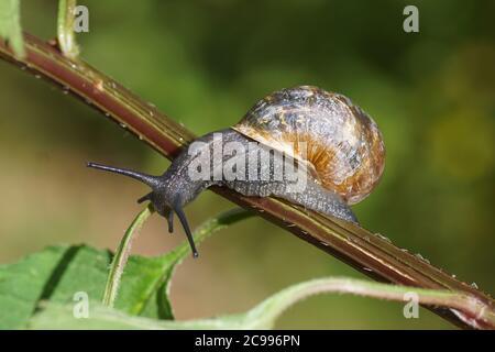 Escargot de jardin (Cornu aspersum) rampant sur une tige d'une plante. Escargots terrestres de la famille ( Helicidae). Juillet, dans un jardin hollandais. Banque D'Images