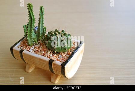Mini-cactus de fées en pot et cactus de chin de Dwarf isolés sur une table en bois