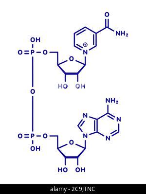 Molécule de coenzyme nicotinamide adénine dinucléotide (NAD+). Coenzyme importante dans de nombreuses réactions de redox. Formule squelette bleu sur fond blanc.