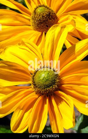 Rudbeckia Amarillo fleurs d'or Gloriosa Daisy jaune Rudbeckias Banque D'Images