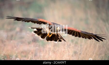 Harris Hawk, Parabuteo unicinctus en vol. Faune et flore scène animale de la nature. Oiseau de proie volant. Scène sauvage de la nature. La meilleure photo.