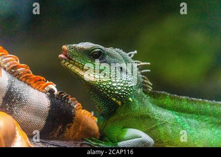 Iguana vert. Iguana - également connu sous le nom de l'iguana commune ou de l'iguana américaine. Les familles de lézard, regardent vers un regard lumineux regardant dans la même direction que nous