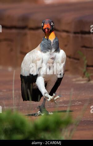 Magnifique portrait d'un roi vautour coloré marchant sur le sol exposé à la lumière du soleil Banque D'Images