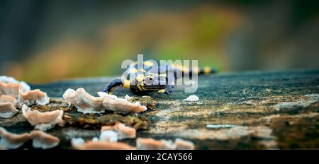 Salamandre au feu dans l'environnement naturel, habitat naturel, gros plan, faune, Salamandra salamandra, République Tchèque, Europe, la meilleure photo