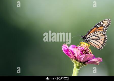 Monarch Butterfly, Danaus plexippuson, sur fond vert Pink Zinnia Banque D'Images