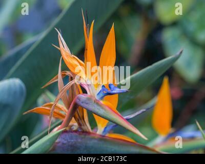 Gros plan fleur de Strelitzia reginae orange et bleu tête de fleur grue fleur ou oiseau de paradis Banque D'Images