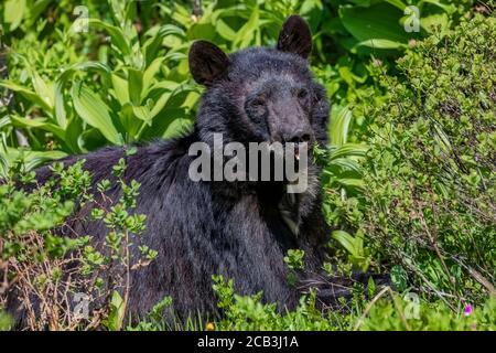 Ours noir américain, Ursus americanus, se nourrissant de l'amour de Grey, Ligusticum grayi, en juillet le long de la piste à travers les prés du Paradis, Mont Rainier