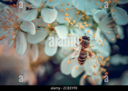 L'abeille recueille le pollen des fleurs de prune blanches. Scène printanière en pleine floraison