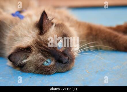 Gros plan d'un chat paresseux avec des yeux bleus