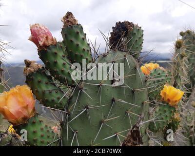 Vue rapprochée de la fleur de cactus avec de grandes fleurs d'oranger.