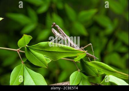 Mantis chinois (Tenodera sinensis) - prier Mantis sur la branche. Isolé sur fond vert.
