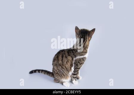 Close up portrait of funny cat looking up rayé curieux attentifs isolé sur fond de mur gris avec copie espace.