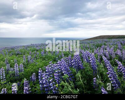 Magnifiques champs de Lupin d'Islande pendant les mois d'été de Juin et juillet