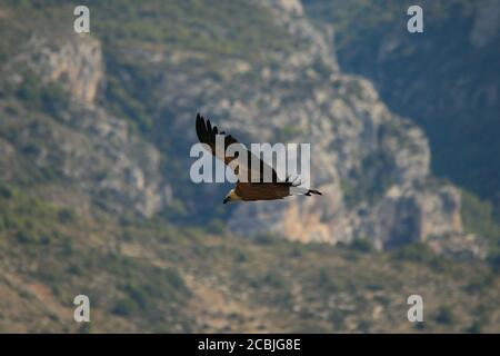 Griffon Vulture volant dans les Gorges du Verdon, Provence, France.
