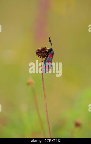 Gros plan d'une Moth de six Burnett tachetée reposant sur une plante avec un arrière-plan flou dans la réserve naturelle de Bishop Middleham, comté de Durham, Angleterre, Royaume-Uni Banque D'Images