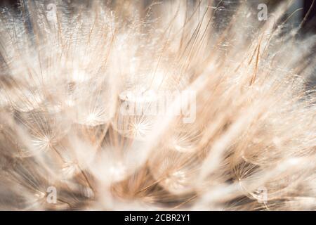 Tête de fleur en pissenlit, photo macro extrême. Banque D'Images