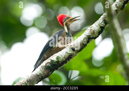Un Crimson-crested Woodpecker (Campephilus)