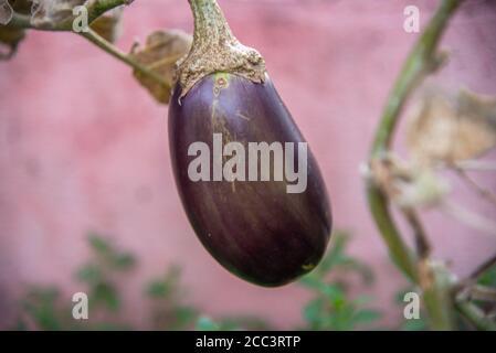 Aubergines fraîches. Plante de rubis, à la texture herbacée et de petite taille, entre 0.4 et 1.5 mètres. Ses feuilles sont grandes, vertes, de di alterné Banque D'Images