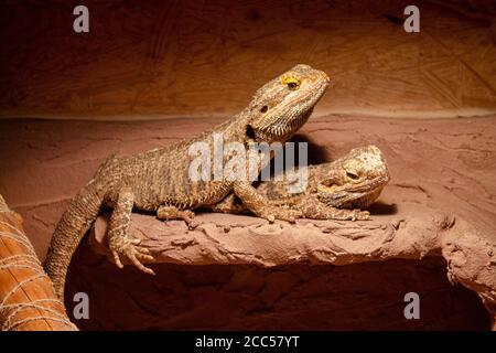 Deux dragons barbus assis dans leur terrarium. Ils regardent le photographe. Banque D'Images