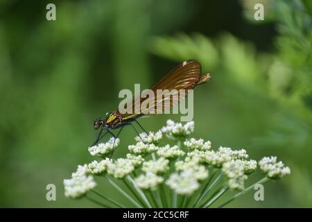 Femelle Demoiselle Agrion en profil