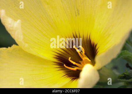 fleurs jaunes fleuries avec des pistils jaune pâle