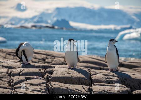 Trois manchots manchots adultes (Pygoscelis antarcticus) se tenant sur quelques rochers au bord de la mer en Antarctique.