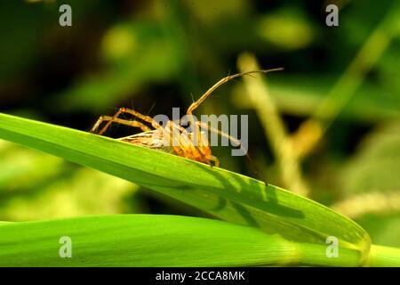 Une araignée de lynx (oxyopes javanus) rampant sur l'herbe verte.