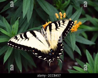 Macro gros plan du papillon à queue de cygne de Pâques Banque D'Images